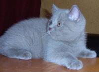 ...Британская короткошерстная кошка