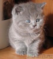 Pictures of Британские котята голубой мальчикот Чемпионов мира.