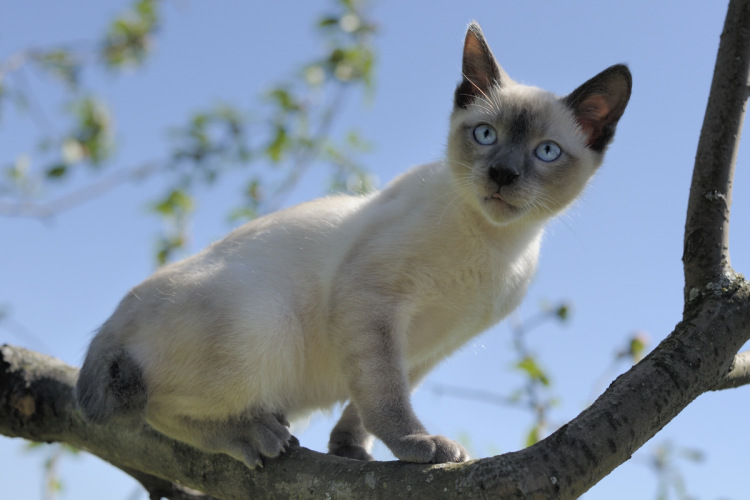 mekong bobtail Cofein, kitten blue point