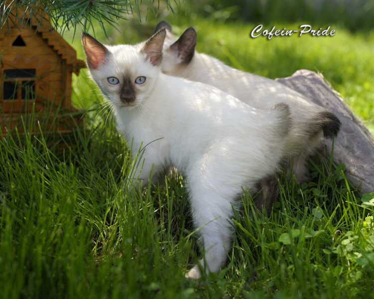 mekong bobtail kittens of different colours, Cofein-Pride cattery