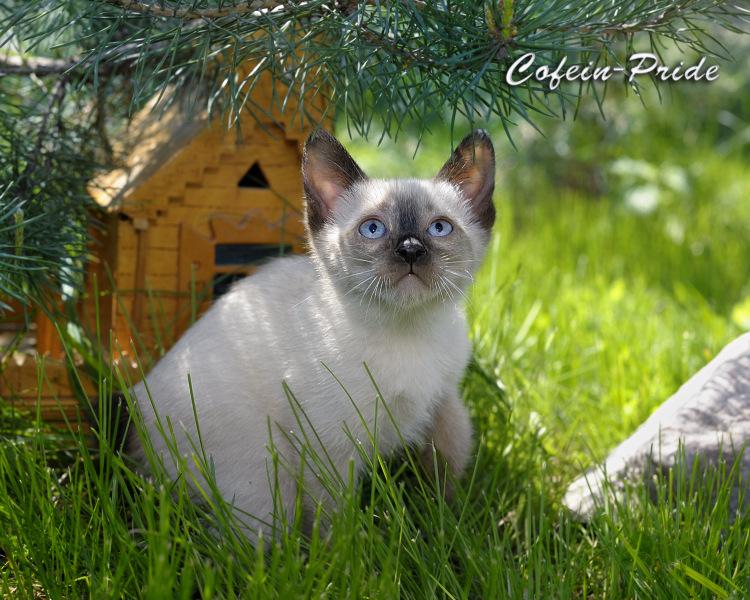 mekong bobtail kitten, Cofein-Pride cattery