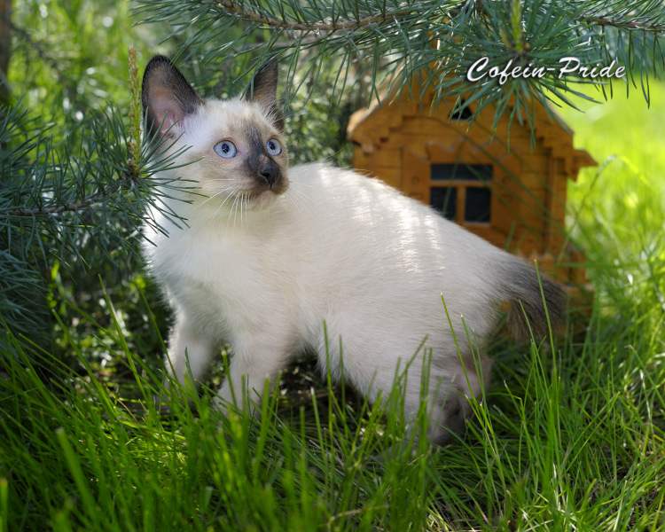 mekong bobtail kitten, seal point, Cofein-Pride cattery