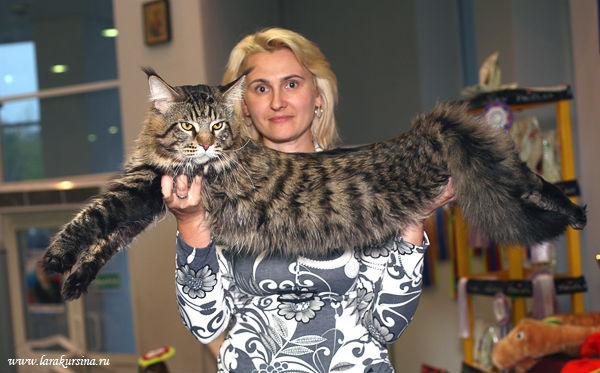 Мейн-кун на выставке, породы кошек кошки фото фотография.
