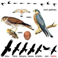 ДЕРБНИК (Falco columbarius) мелкий сокол, напоминающий по