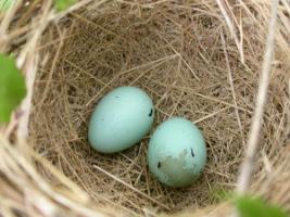 яйца в гнезде чечевицы