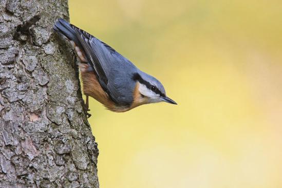 птица поползень