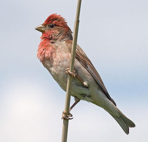 чечевица птица