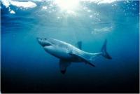Интересные факты из жизни акул (9 фото)